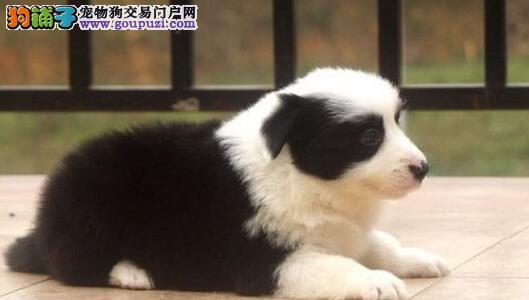 高智商边牧犬 多种颜色 徐州低价出售中 质量保证 包送