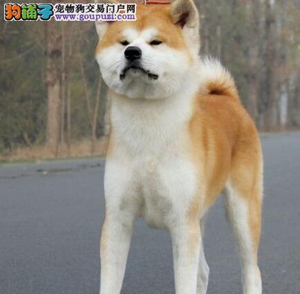 上饶自家狗场繁殖直销秋田犬幼犬终身售后送货