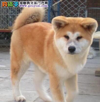 纯种秋田犬宝宝找主人购犬可签协议