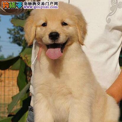 出售健康可爱的金毛幼犬 欢迎上门选购