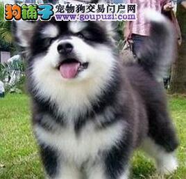 桃脸帅气的深圳阿拉斯加犬低价出售 终身完美售后服务