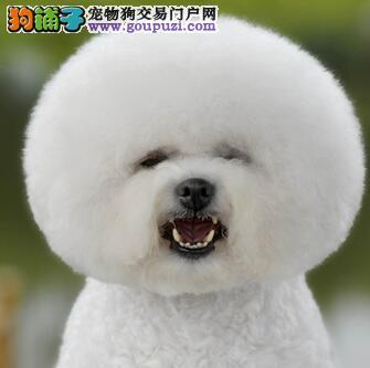 超低价出售高品质白比熊宝宝,喜欢的来看看!