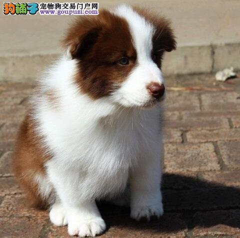 高智商极其聪明的边境牧羊犬找新主人 武汉市内可送货