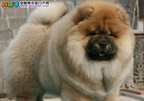 合肥犬舍出售憨厚敦实的松狮犬 选择我们可以放心选购