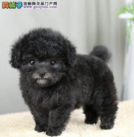 长沙大型狗场出售多种颜色的泰迪犬 保证品质和售后