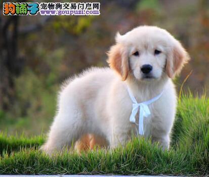 超大毛量金灿灿的合肥金毛犬找新家 我们承诺售后三包
