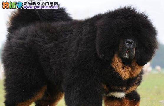广州藏獒犬 广州哪里有卖藏獒犬 广州藏獒犬哪有出售