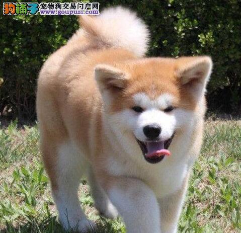 唐山正规养殖基地直销秋田犬 高端的伴侣护卫犬