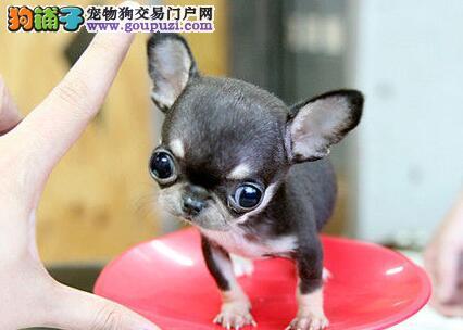 转让纯血统唐山吉娃娃幼犬 可签订质保协议三包不变