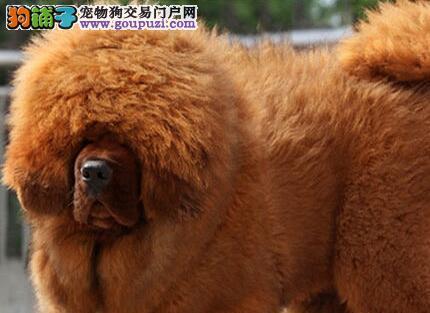 胜似保镖的郑州藏獒 凶猛度极强 专业繁育出售