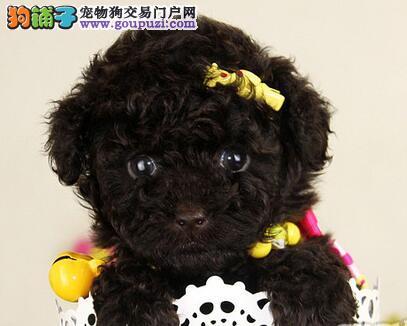 成都出售顶级高品质卡哇伊泰迪熊犬 质保三年 签署合同
