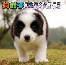 CKU犬舍认证出售高品质边境牧羊犬赛级品质血统保障