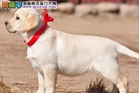 颜色全品相佳的拉布拉多纯种宝宝热卖中优惠出售中狗贩子勿扰
