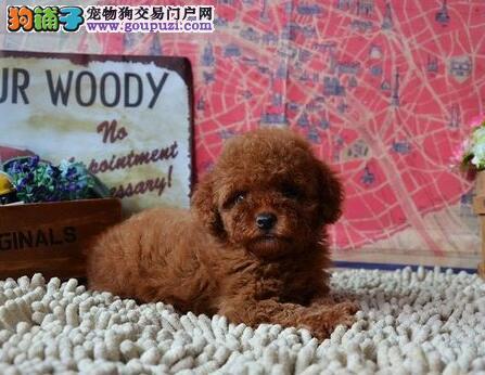 极品纯正的西安贵宾犬幼犬热销中真实照片视频挑选