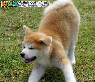 出售秋田犬包纯种日系秋田欢迎挑选