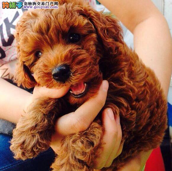 出售高端泰迪犬 可看狗狗父母照片 签订终身合同