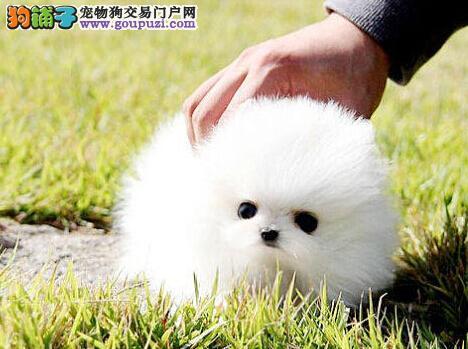 直销哈多利球型博美犬宜昌地区购犬送用品