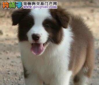 纯正七白到位深圳边境牧羊犬热卖中 欢迎爱狗人士挑选