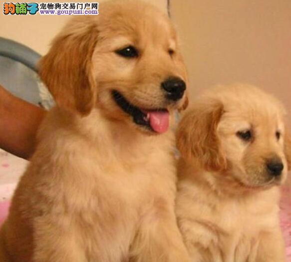 高品质纯种大骨架金毛犬出售 深圳市内可免费送狗