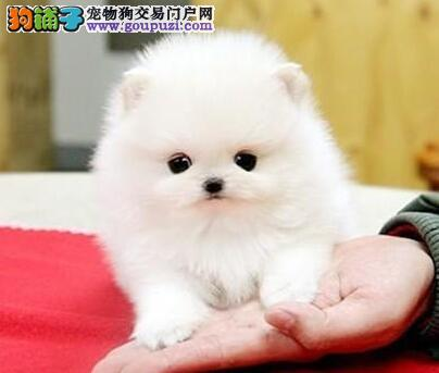 金昌自家养殖纯种博美犬低价出售签署各项质保合同