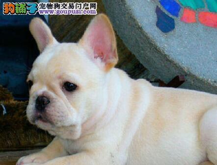 优秀品质北京斗牛犬特价出售 可签定售后协议书品质高