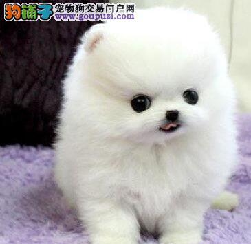 出售健康纯种哈多利版天津博美犬 支持空运客运发货