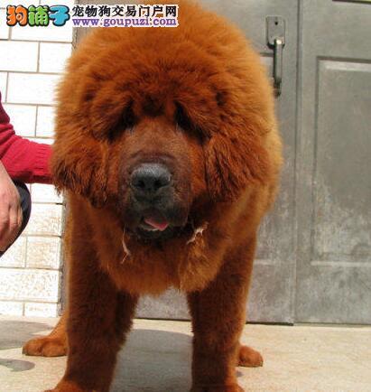 獒园出售纯种原生态藏獒大狮头獒 欢迎上门选购