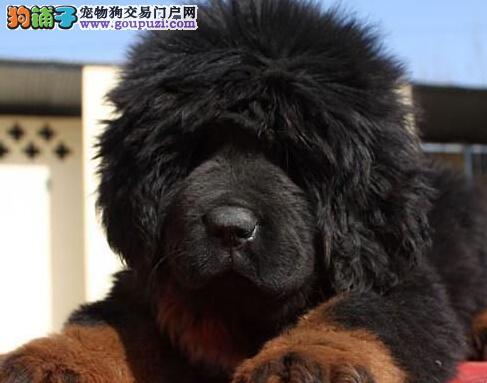 出售藏獒幼犬品质好有保障终身售后保障