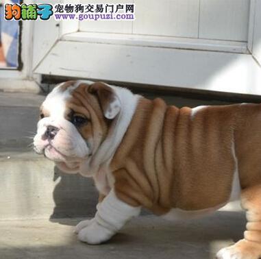 八折出售广州斗牛犬 驱虫疫苗做完 请您放心选购
