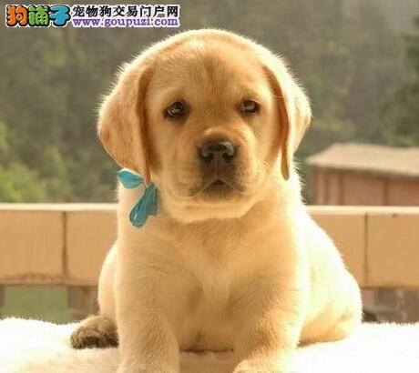 极品纯正的成都拉布拉多幼犬热销中签正规合同请放心购买