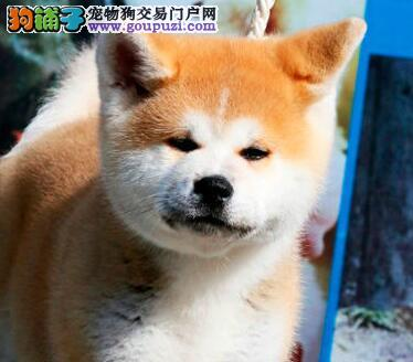 低价转让纯种深圳秋田犬纯日系血统赛级品质