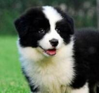 出售赛级边境牧羊犬,顶级品质专业繁殖,专业信誉服务