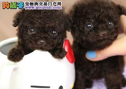 专业繁殖茶杯体泰迪犬出售深圳地区购犬送狗粮