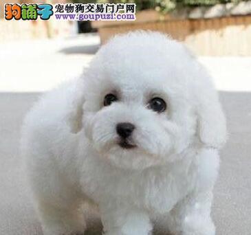 广州比熊犬价钱多少 广州哪里有卖卷毛比熊犬