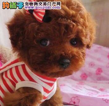 济南出售纯种玩具泰迪巧克力红黑白都有