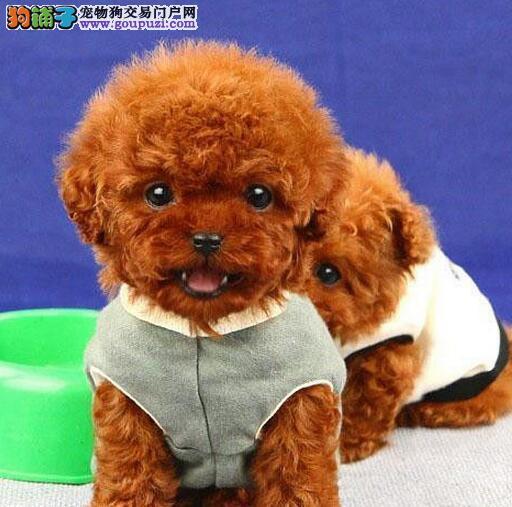 公母均有的济南泰迪犬找爸爸妈妈 爱狗人士上门选购
