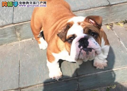 贵阳繁殖场出售高气质的斗牛犬 多种颜色供您购买