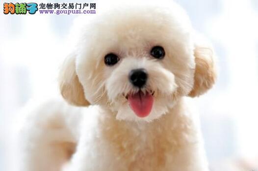 转让卷面甜美可爱的济南泰迪犬 终身免费送货上门选择