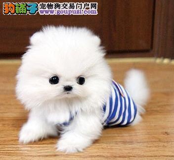 球形体多种颜色的九江博美犬出售购犬送用品