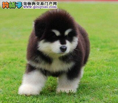 极品纯正的天津阿拉斯加犬幼犬热销中微信看狗真实照片包纯