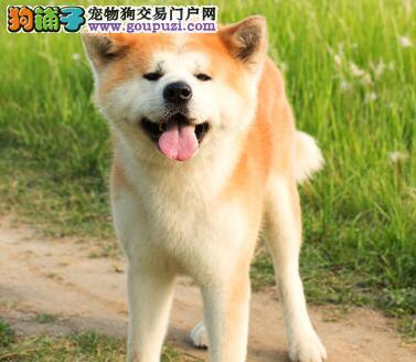犬舍直销品种纯正健康秋田犬保证冠军级血统