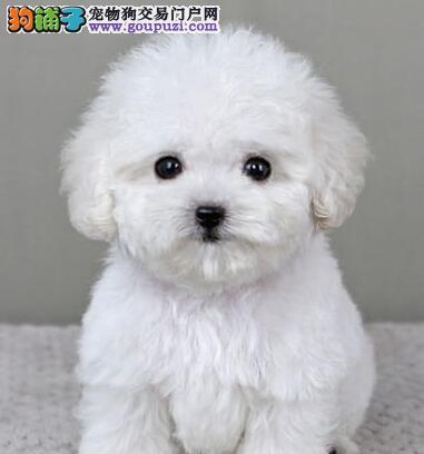 国外引进纯泰迪犬,保证品质一流,当天付款包邮