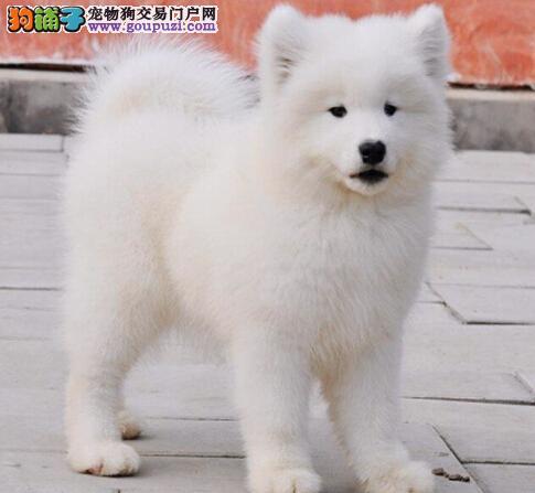 超萌美系萨摩耶北京热卖 雪白无水锈 骨骼粗毛量
