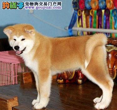 出售毛色纯正活泼可爱的济南秋田犬 建议大家上门选购