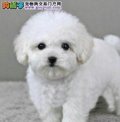 出售纯种韩系泰迪犬 驱虫已做好欢迎来宁波犬舍购买