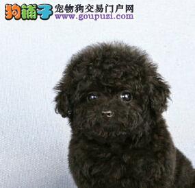 出售可爱活泼小卷毛的襄樊泰迪犬驱虫已做保质量