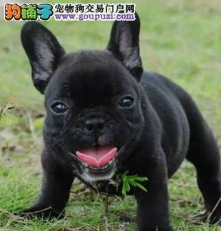 上海自家繁殖的纯种法国斗牛犬找主人品质优良诚信为本