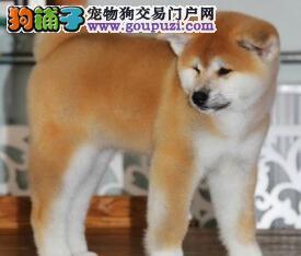 宁波热销纯种日系秋田犬 三针疫苗做齐外地可视频看狗