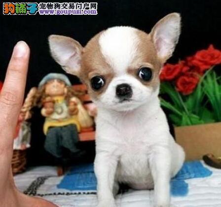 上海出售纯种墨西哥小体大耳朵 眼睛鼓鼓苹果头吉娃娃