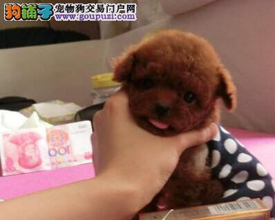 长沙本地狗场出售韩系泰迪犬 血统纯正可签订协议书